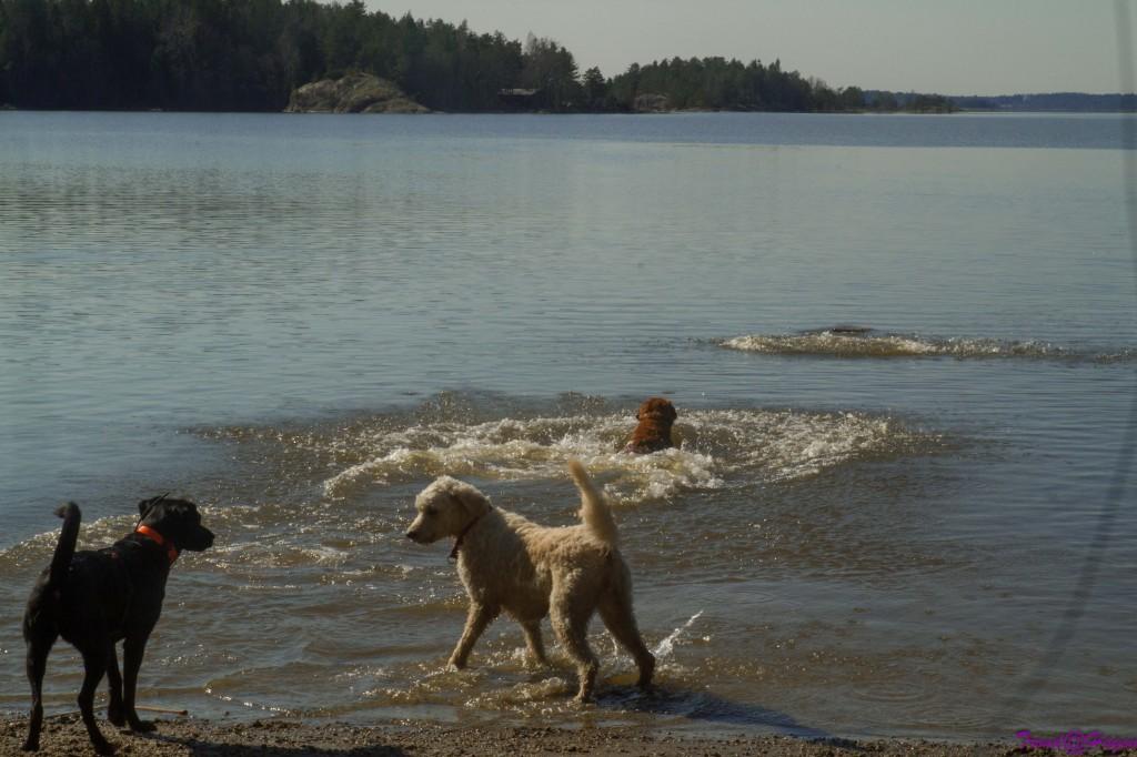 Hundene i full fart, og selfølgelig er Frøya i vannet