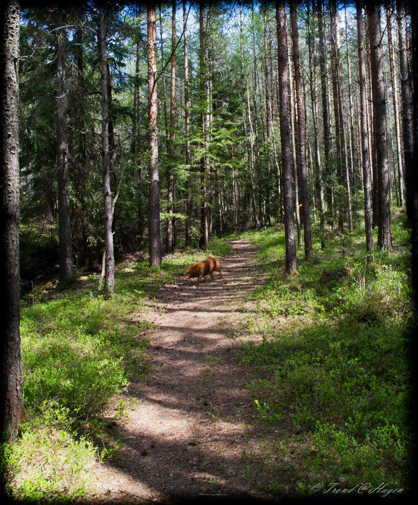 Åpen skog
